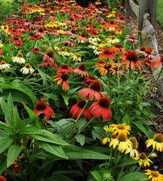 Echinacea 'Cheyenne Spirit', mix of purple, pink, red, orange, yellow, cream, and white; to 2' tall and wide
