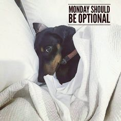 "1 Likes, 2 Comments - Dachshund Quotes & Pictures (@mydachshundfamily) on Instagram: ""So true . @hugotheminidash"""
