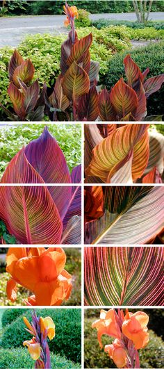 Gorgeous. Love this. Not cheap, per article, but had to Pin It. Tropicana Canna Lily - Journal - Deb's Garden Blog