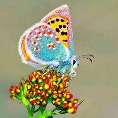 Papillon <3 ***