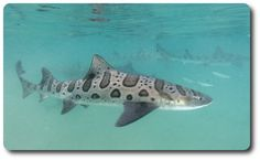 Leopard Shark | Cool Facts and Information about Sharks | Pictures