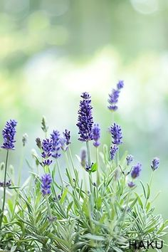 I'm drying lavender from my garden ! – Growing Lavender Gardening - Growing Plants at Home Lavender Fields, Lavender Color, Lavender Flowers, Wild Flowers, Flor Iphone Wallpaper, Arte Pink Floyd, Growing Ginger Indoors, Orquideas Cymbidium, Perennials