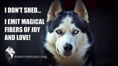 It's a Husky Thing.. #ForeverHusky is a 501(c)3 non profit charitable organization that aims to improve the quality of life for dogs in shelters and rescues until they find their forever homes. We are #MoreThanJustAHuskyRescue If you are interested in adopting, fostering, volunteering or donating please go to ForeverHusky.org.