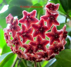 Hoya globulifera Blume 1850 is a rare, tropical climber, found in Papua New Guinea.  The dark-red, sometimes greyish-red flowers are grouped in dense clusters with a size of up to about 10 cm in diameter. The hairy flowers are slightly fragrant with a scent reminescent of Vanilla, strongest whilst flowers open. Leaves of Hoya globulifera get lengths of just 0,8-1 cm with a width of about 0,25 cm.