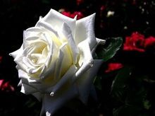 Jardín plantando fácil a planta de China Rare White Rose Semillas Semillas de flores Ppcsetal plantas flores Bonsai Semillas Rosa 300 unids(China (Mainland))