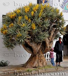 Baumaloen Aloe dichotoma Tip-Top Trailing Plants For Containers Introducing the top three trailing p Unusual Plants, Rare Plants, Exotic Plants, Cool Plants, Cacti And Succulents, Planting Succulents, Planting Flowers, Trees And Shrubs, Trees To Plant