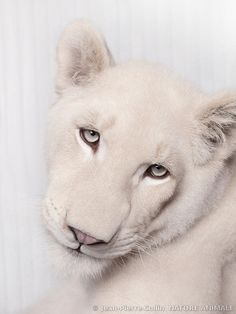 So beautiful!!!! Portrait of a white lioness
