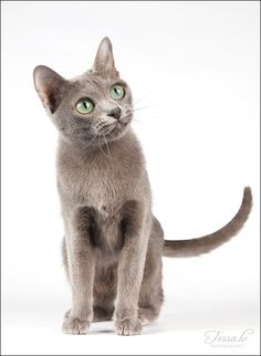 tessochka: korat Blue Cats, Grey Cats, Korat Cat, Blue Grey, Gray, Russian Blue, British Shorthair, Bangkok Thailand, Animals And Pets