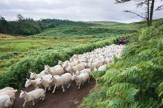 Soo viel Schafe. Die Isle of Eigg ist einfach wunderschön - und die weißen Wollknäuel ein wichtger Wirtschaftsfaktor auf der Insel.