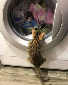 Very interesting post: TOP 56 Funny Cats and Kittens Pictures.сom lot of interesting things on Funny Animals, Funny Cat. Cute Kittens, Cats And Kittens, Bengal Kittens, Siamese Cats, Cute Baby Animals, Animals And Pets, Funny Animals, Animals Images, Animal Memes