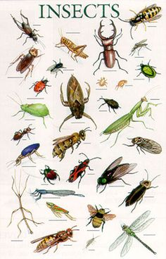 Insects Types of Bugs Entomology Animal Education Poster Types Of Bugs, Types Of Insects, Bugs And Insects, Cool Bugs, Nature Posters, Beautiful Bugs, Insect Art, Animals Of The World, Art Plastique