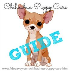 The ultimate Chihuahua puppy care guide. Everything you need to keep your Chi happy and healthy, all in once place!