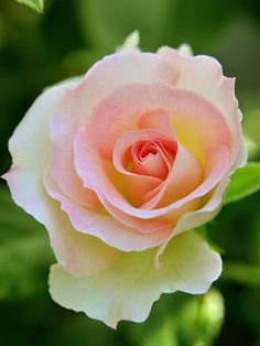 "I love white roses with blushed centers! This one reminds me of ""Sheer Bliss""--one of my favorites, which smells SO. GOOD!"