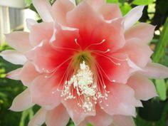 """Epiphyllum """"Argus"""" (Orchid Cactus)"""