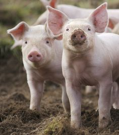 Check out the RSPCA's blog post about pig welfare! It's called 'the pig issue' and shares what life's like for many farmed pigs, how the RSPCA is calling for change - and what you can do to help: http://blogs.rspca.org.uk/insights/2016/04/14/the-pig-issue/#.VzWozBUrJPO