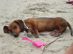 Tired after a day at the beach. #dachshund