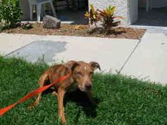 PEACHES is an adoptable Catahoula Leopard Dog Dog in Fort Myers, FL.  ...