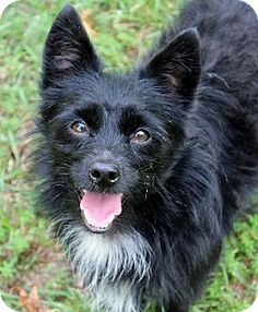 ADOPTED!! - Yardley, PA - Crossing Paths Animal Rescue-Pa. Chapter, Cairn Terrier/Norfolk Terrier Mix. Meet BOOKER, a dog for adoption. http://www.adoptapet.com/pet/11103784-yardley-pennsylvania-cairn-terrier-mix