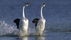 Partners for life.  Clark's grebes reaffirm their commitment through dance.