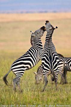 Burchell's Zebra stallions fighting, Masai Mara, Kenya