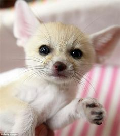 foxes as pets | Fennec Foxes Arctic Foxes and other Exotic Pets for sale. - Appomattox