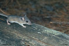 This little oldfield mouse looks so scaird. Thank you Clemson University Department of Forestry http://www.clemson.edu/cafls/departments/forestry/cef/cef_mammals.html