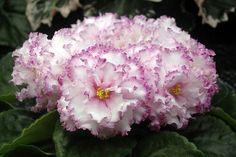 Фея (Т. Дадоян).   Огромные, махровые, нежно-розового цвета цветы с гофрированной малиновой каймой, края которых украшает тонкая гофрированная бронзовая кайма. Крепкие цветоносы. (Чужое фото)