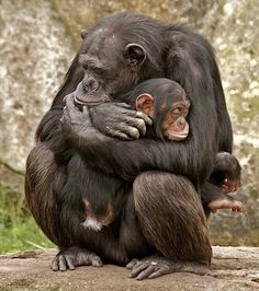 """""""A mother's nurturing love arouses in children, from their earliest days on earth, an awakening of the memories of love and goodness they experience in their pre-mortal existence. Because our mothers love us, we learn, or more accurately remember, that God also loves us."""" ― M. Russell Ballard. [Chimpanzee. #Endangered. Pinned by PartyTalent.com] Primates, Mammals, Cute Baby Animals, Animals And Pets, Funny Animals, Wild Animals, Strange Animals, Beautiful Creatures, Animals Beautiful"""
