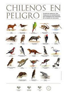 CHILENOS EN PELIGRO by Marcos Navarro C, via Flickr Nature Animals, Animals And Pets, Mundo Animal, Natural History, South America, Flora, Photo And Video, Birds, World