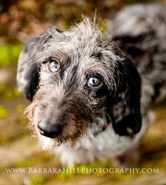 My new rescue baby, Zeus. A five mo. old wire-haired, dapple Dachshund. He's little, he's sweet, he's mine:)