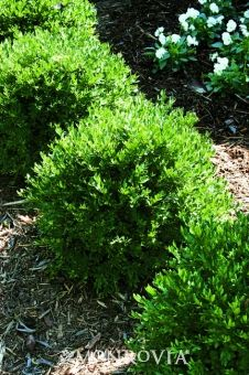 Chicagoland Green Boxwood - Partial to full sun 3-4' tall and wide.  Can be maintained smaller.  Evergreen shrub.