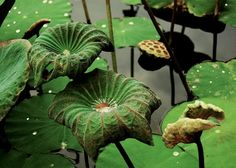 green lotus leaf pond