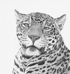 'Magnificent' original pencil drawing  of a magnificent male Jaguar www.clivemeredithart.weebly.com