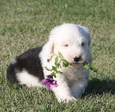 Old English Sheepdog Puppies Classifieds | cute Old English Sheepdog Puppies For Sale - Dubai City