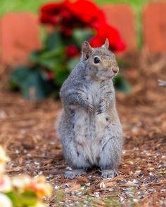 Garden Squirrel