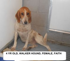***SUPER SUPER URGENT!!!*** - PLEASE SAVE FAITH!! - EU DATE: 8/4/2015 -- Faith Breed:Treeing Walker Coonhound Age: Adult Gender: Female Size: Medium Special needs: hasShots, Location: Elizabethtown, NC  Read more at http://www.dogsindanger.com/dog/1438232004848#kJk2bFeQcsDWz2oy.99 - About Faith: Faith is is a good natured 4 yr old walker hound girl. The shelter is FULL, Please don't leave her there. . Call Silvia and Debbie now,,,,,Silvia is 910-876-0539 and Debbie is 339-832-0806. If Si