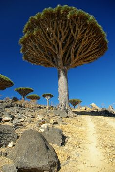 dragon's blood tree ... resin is medicinal ... socotra island, yemen ....