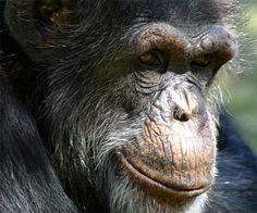 Bili Ape - Mystery Chimpanzee or Gorilla