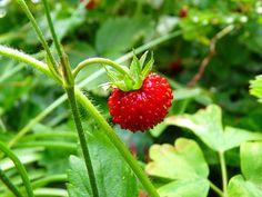 Erdbeere strawberry