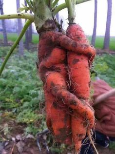Carrots are good for you! Weird Fruit, Funny Fruit, Weird Food, Fruit And Veg, Fruits And Veggies, Funny Images, Funny Pictures, Art Pictures, Funny Vegetables