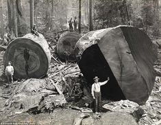 Clearing land 1915 .. The length and breadth of the tree trunks are highlighted by the men, who are dwarfed by the tree's sheer size - Lumberjacks working among the redwoods in Humboldt County, California