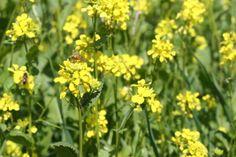 Bees heart Mustard   McEvoy Ranch