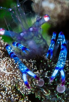 Purple spotted commensal shrimp