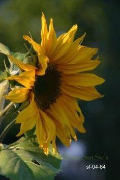 Sunflower Photos & Patterns for Artists by Susie Short Watercolor Sunflower, Sunflower Art, Yellow Sunflower, Beautiful Flowers Garden, Happy Flowers, Pretty Flowers, Nature Plants, Flowers Nature, Sun Flowers