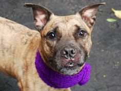 SUPER URGENT Manhattan Center FARFALLE – A1037795 SPAYED FEMALE, BR BRINDLE, PIT BULL MIX, 5 yrs STRAY – ONHOLDHERE, HOLD FOR ID Reason STRAY Intake condition EXAM REQ Intake Date 05/27/2015