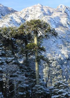 Araucaria - Parque Nacional Huerquehue, Región de la Araucanía, Chile Beautiful World, Beautiful Places, Parque Natural, Mountainous Terrain, Chili, Natural Scenery, Tree Forest, South America Travel, Cool Places To Visit