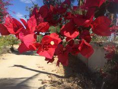 Cabo, Flowers, Plants, Flora, Plant, Royal Icing Flowers, Flower, Florals, Bloemen