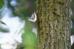 minoru kandabayashi - Google+ - ゴジュウカラ 留鳥も移動中のようで、家の周辺ではほとんど見ることのないゴジュウカラが最近良く見られます。