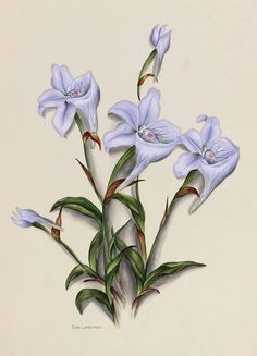 Flowers of South Africa, Cape Peninsula, Private portfolio, unknown artist. Botanical Prints, Floral Prints, Lilies, Botany, Vintage Art, South Africa, Decoupage, Rooms, Architecture
