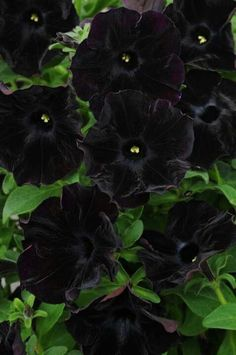 19 Sophisticated Black Flowers for your Unique Garden - Gardening & Home Decor Unique Gardens, Amazing Gardens, Beautiful Gardens, Beautiful Flowers, Petunia Tattoo, Ronsard Rose, Gothic Garden, Dark Flowers, Landscaping